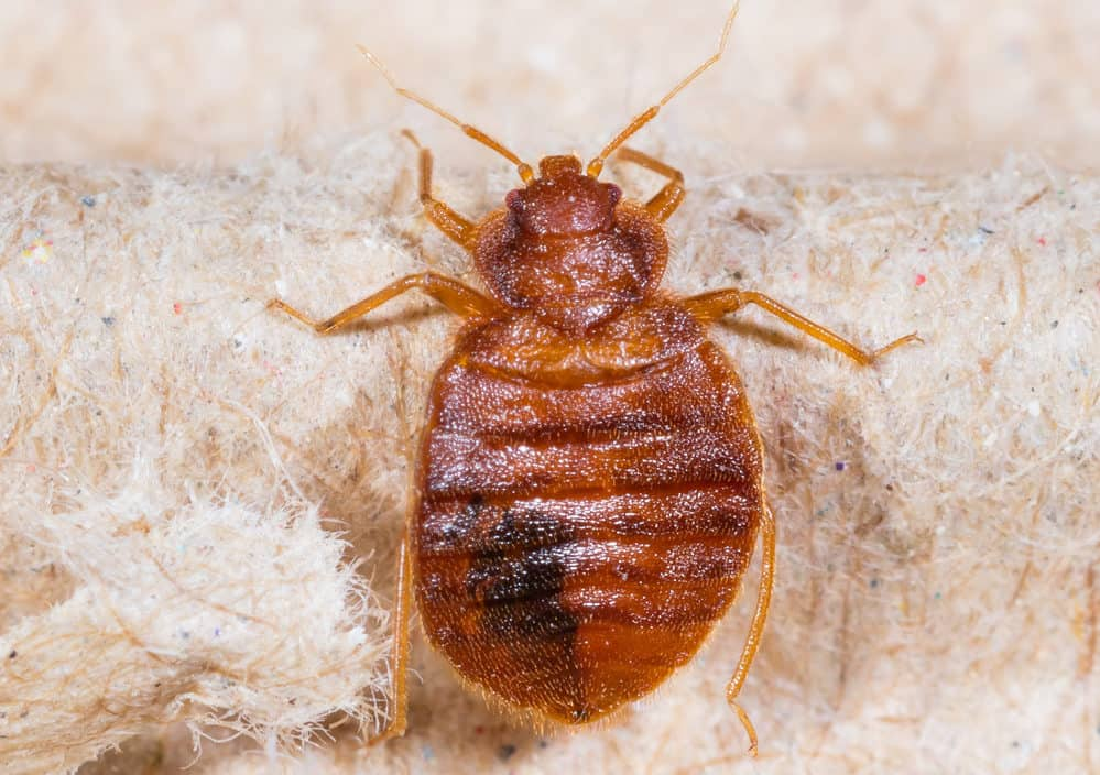 bed bug on a bed in Milton Keynes