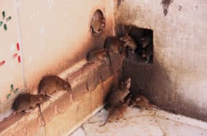 differences between rat and mice infestations