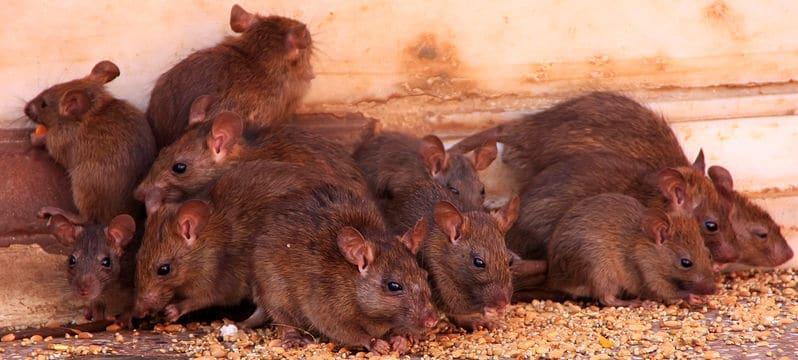 Milton Keynes rat control technician dealing with a rat infestation in kitchen