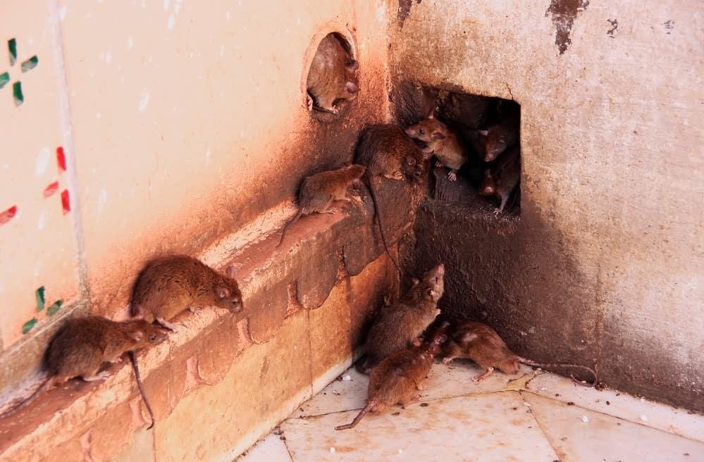 mice removal in attic in Milton Keynes