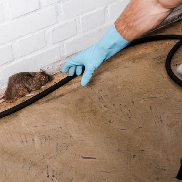 pest control man in Milton Keynes catching a rat